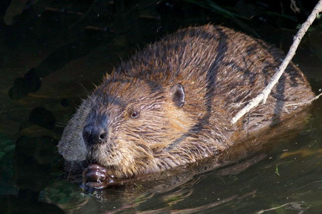 Beaver in the Water