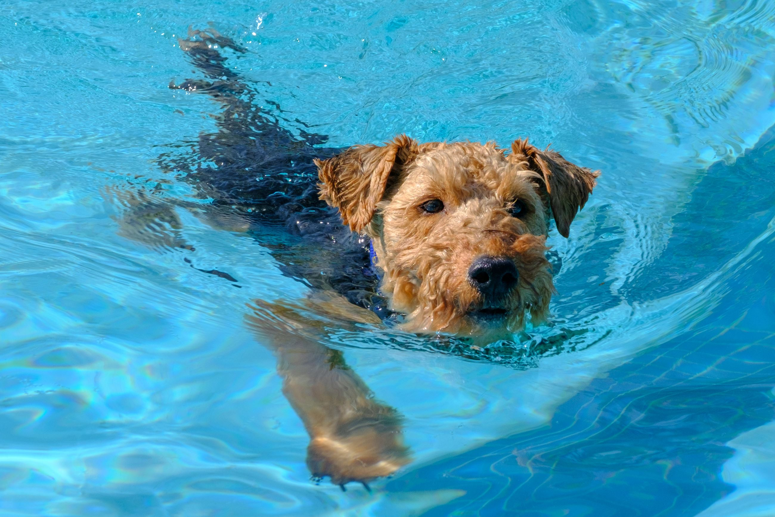 pooch plunge- terrier swimming