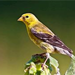 American Goldfinch_female_D. Vogel