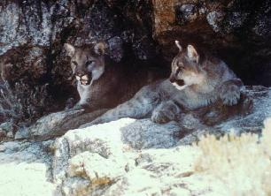 Mountain Lion Photo Courtesy of USFWS
