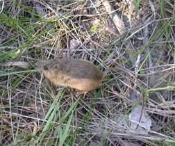 Preble's Meadow Jumping Mouse