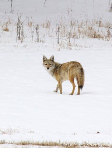 Coyote Walking in the Snow_Photo by David Hannigan